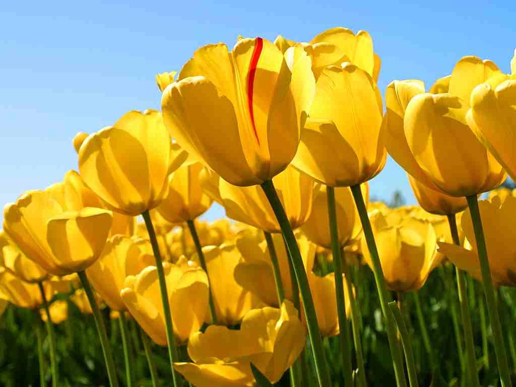 Tulips2-2.jpg